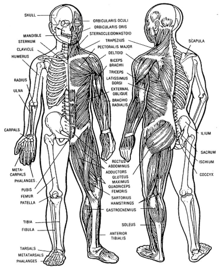 fmst student manual - fmst 1407 - manage musculoskeletal injuries, Muscles